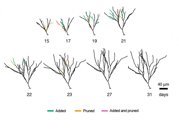 neuron tree growth