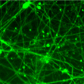 rapamycin-effect-on-MILS-neurons-featured