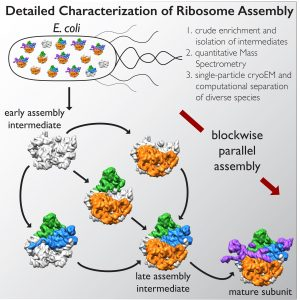 detailed-characterization-of-ribosome-assembly