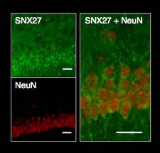 SNX27