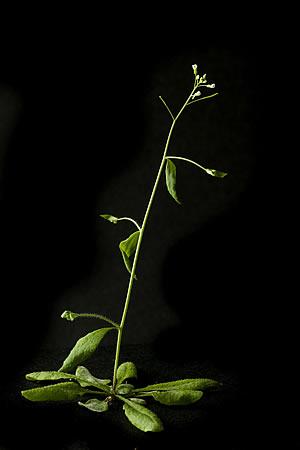 Arabidopsis plant