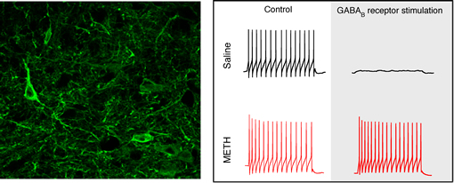 nerves that control body movements emerging from the spinal cord of a mouse