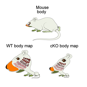Mouseunculus