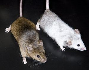 Mice that are unable to fully activate the powerful tumor suppressor p53 are resistant to high doses of radiation.