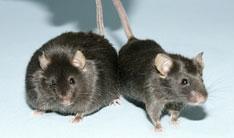 Montminy Mice