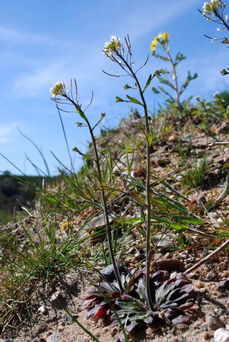 jcs-arabidopsis-thaliana-36145