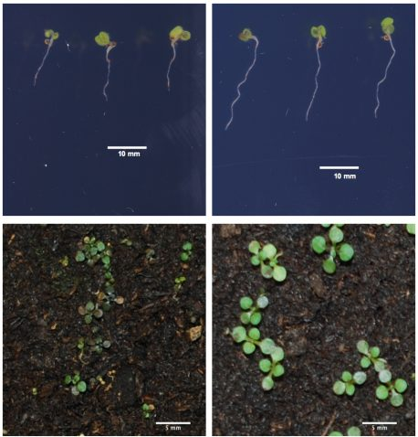 Seedlings (bottom) and roots (top) of <em>Arabidopsis thaliana</em> plants reveal that one variant of <em>FRO2</em> gene (right) is better for growth in low-iron conditions than the other <em>FRO2</em> variant (left).