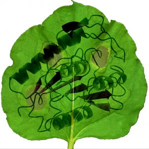 This cartoon depicts a leaf with areas of damage (brown spots) caused by the plant's innate immune response. The superimposed schematic shows SOBER1's three-dimensional structure.