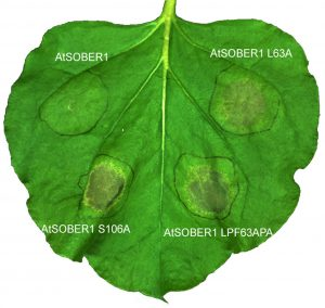 This image shows four areas of a tobacco leaf in which AvrBsT protein has been produced, along with the normal version of the counter-reacting deacetylase (AtSOBER1, upper left) and several mutant versions. The right side shows SOBER1 mutants in which the newly discovered substrate tunnel has been manipulated. The normal version of SOBER1 has the healthiest-looking tissue, because the plant's tissue-killing immune response has been blocked by SOBER1.