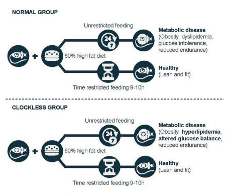 The image above illustrates how eating within a 10-hour window protects mice from metabolic disease regardless of whether their bodies have functional circadian clocks.