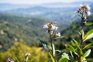 Yerba santa (Eriodictyon californicum) in bloom, Uvas Canyon County Park, Santa Clara County, California.