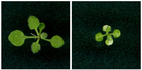 Left: Healthy plant. Right: Plant with defects in chloroplast and leaf development due to abnormal chloroplast RNA editing from MORF2 overexpression.