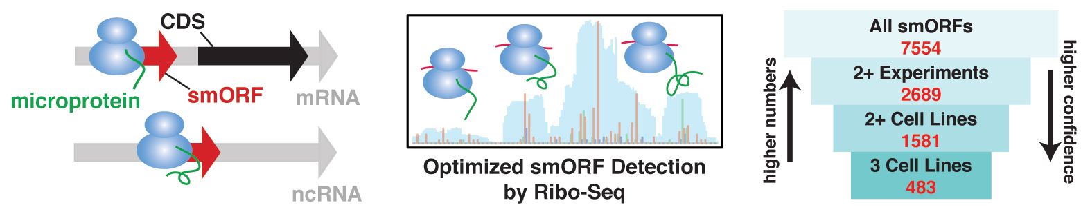 "This illustration represents the Saghatelian lab's method for finding genes known as small open reading frames (smORFs). The ""microproteins"" encoded by smORFs have been linked to immune function, cell stress and many other cellular processes, which suggests that detecting smORFs could lead scientists to new biomarkers and drug targets for human diseases."