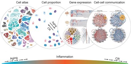 The illustration represents the ways in which caloric restriction affects various aspects of cellular function, with the overall result of reducing inflammation and the activity of many aging-related genes.