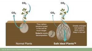 Salk Ideal Plants