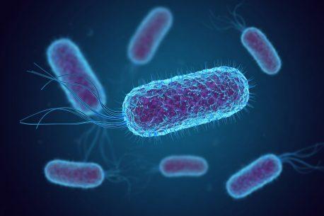 Escherischia coli (E. coli)