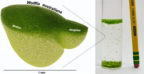 The tiny aquatic plant Wolffia, also known as duckweed, is the fastest-growing plant known.