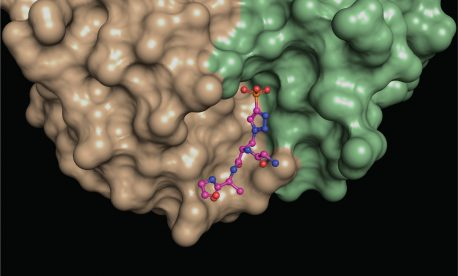 A structural snapshot of a phosphohistidine analogue (ball and stick model) nestled at the interface between different areas (green, brown) of a phosphohistidine antibody. Such structures provide insights into the molecular properties of the antibodies, which makes them useful for revealing elusive phosphohistidine-containing proteins in cells.
