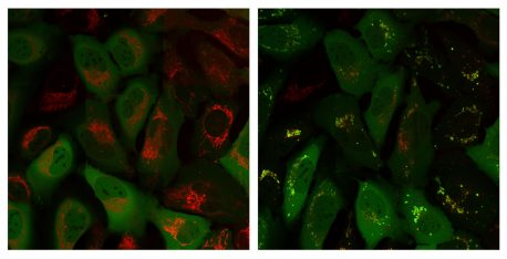 Parkin protein (green signal) is in a different part of the cell than the mitochondria (red signal) at time 0 (left image) but then co-localizes with the mitochondria after 60 minutes (right image).